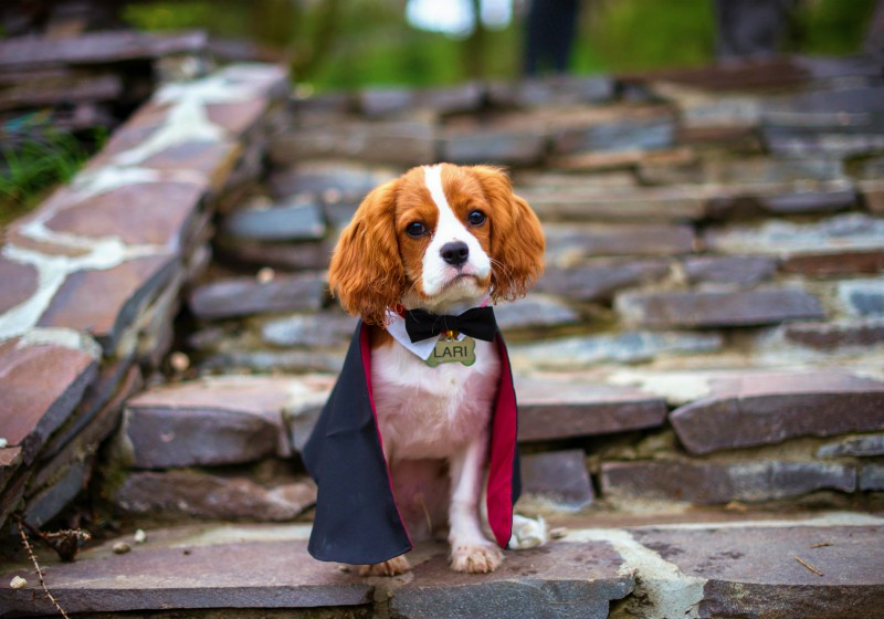 cute puppy dracula cavalier king charles | best costume patterns